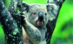 Koala HD pictures