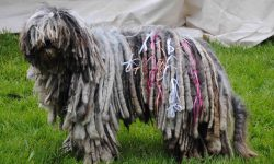 Komondor Backgrounds