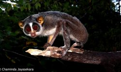 Loris HD pictures