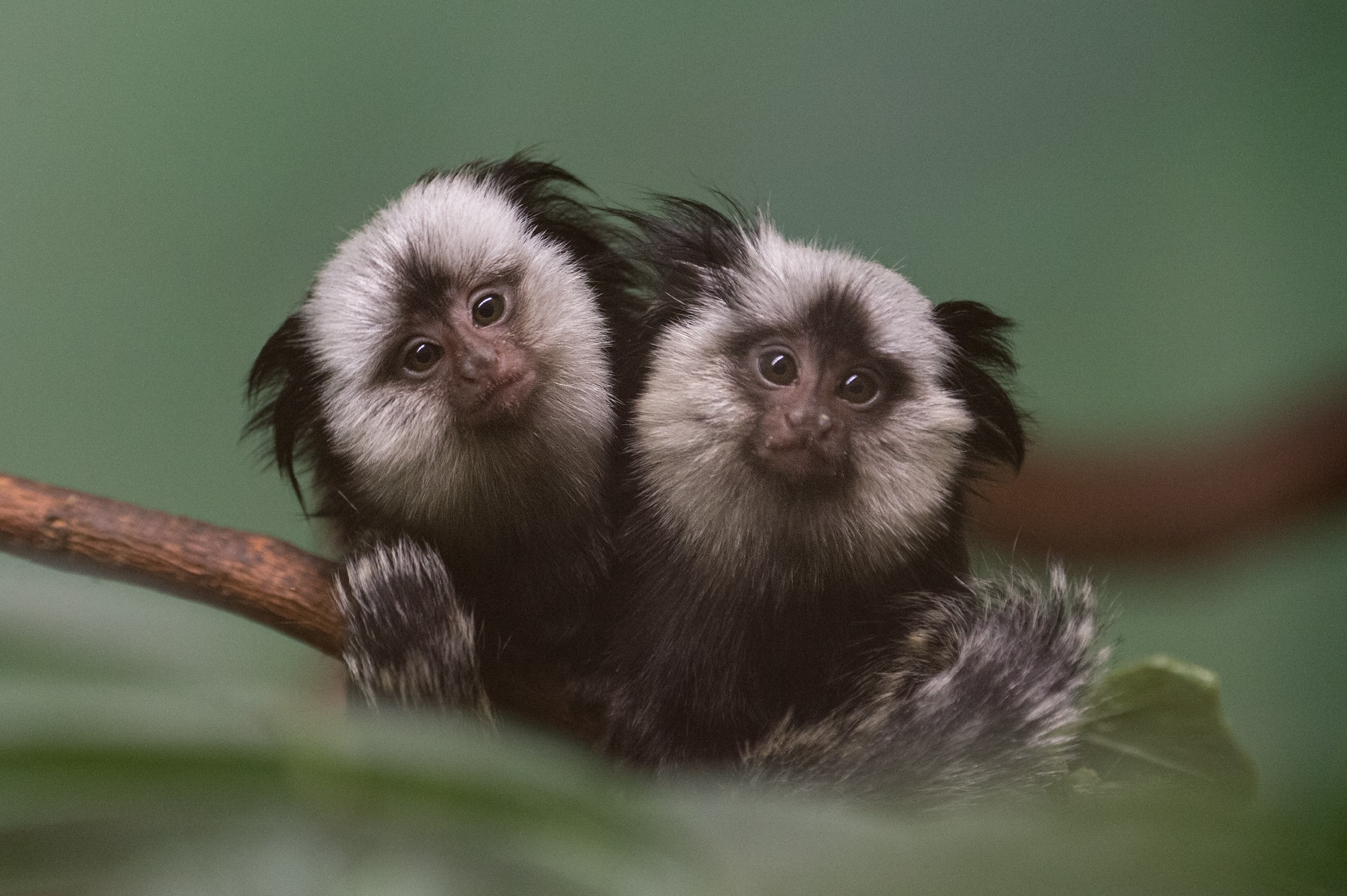 Marmoset monkey HD pictures