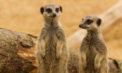 Meerkat HD pictures