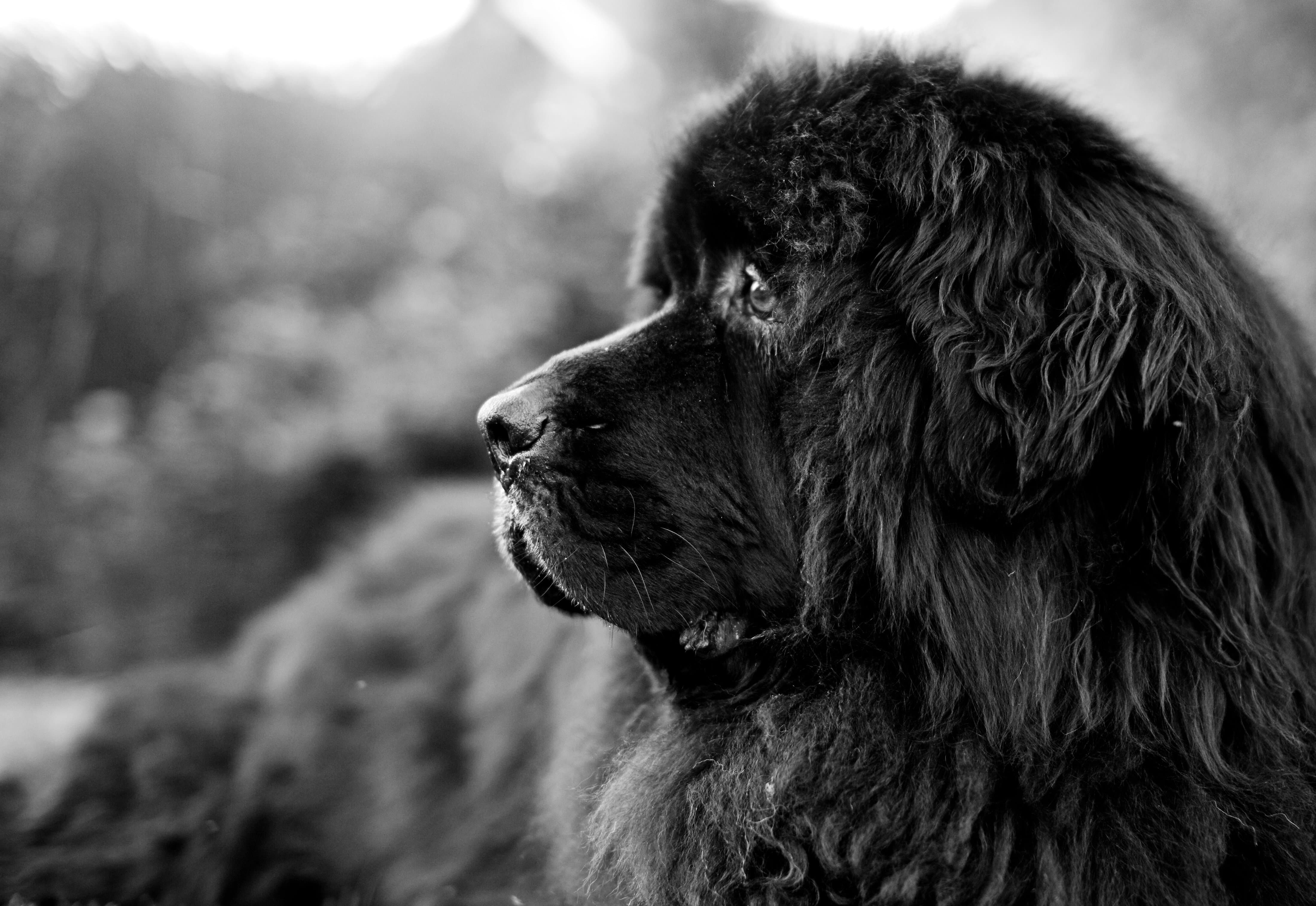 Newfoundland Dog HD pictures
