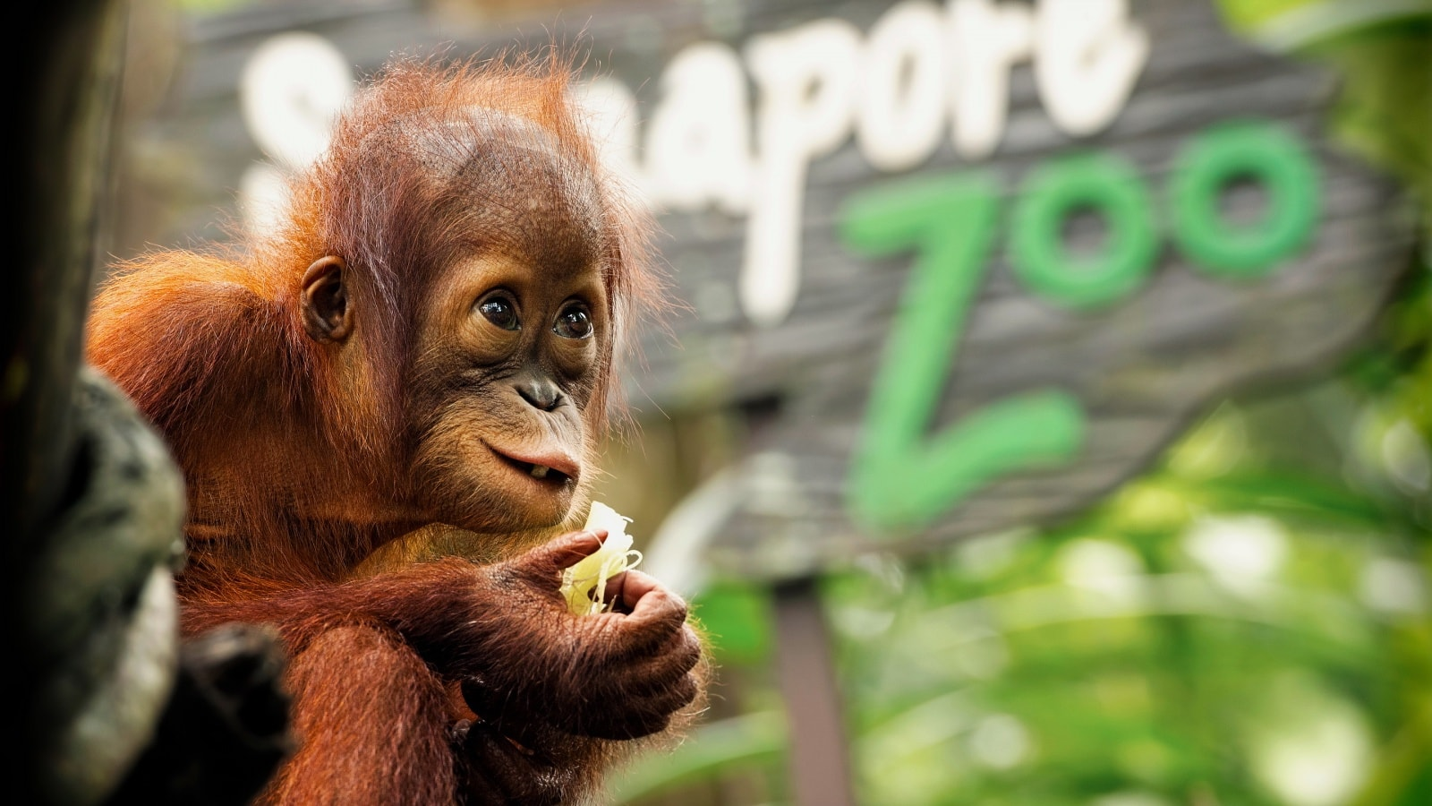 Orangutan widescreen wallpapers