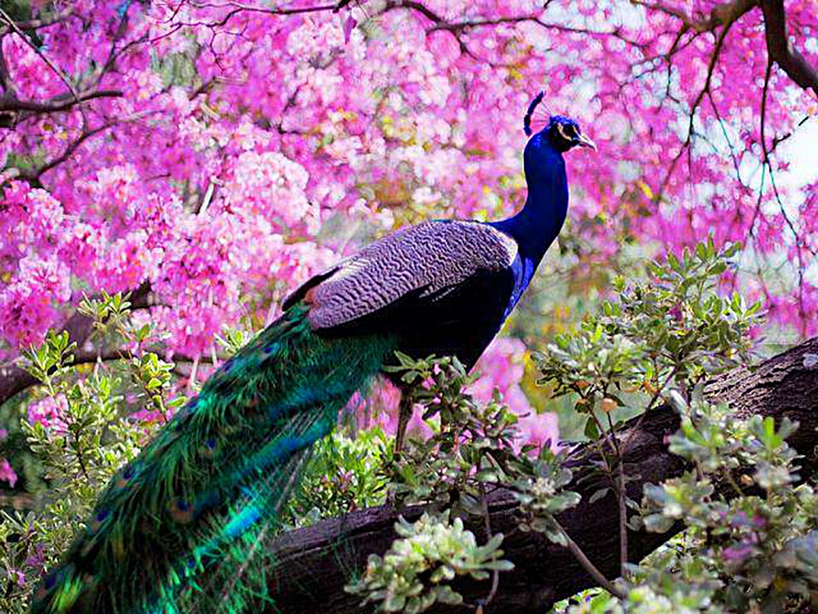 Peacock HD pictures