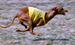 Pharaoh hound HD pictures
