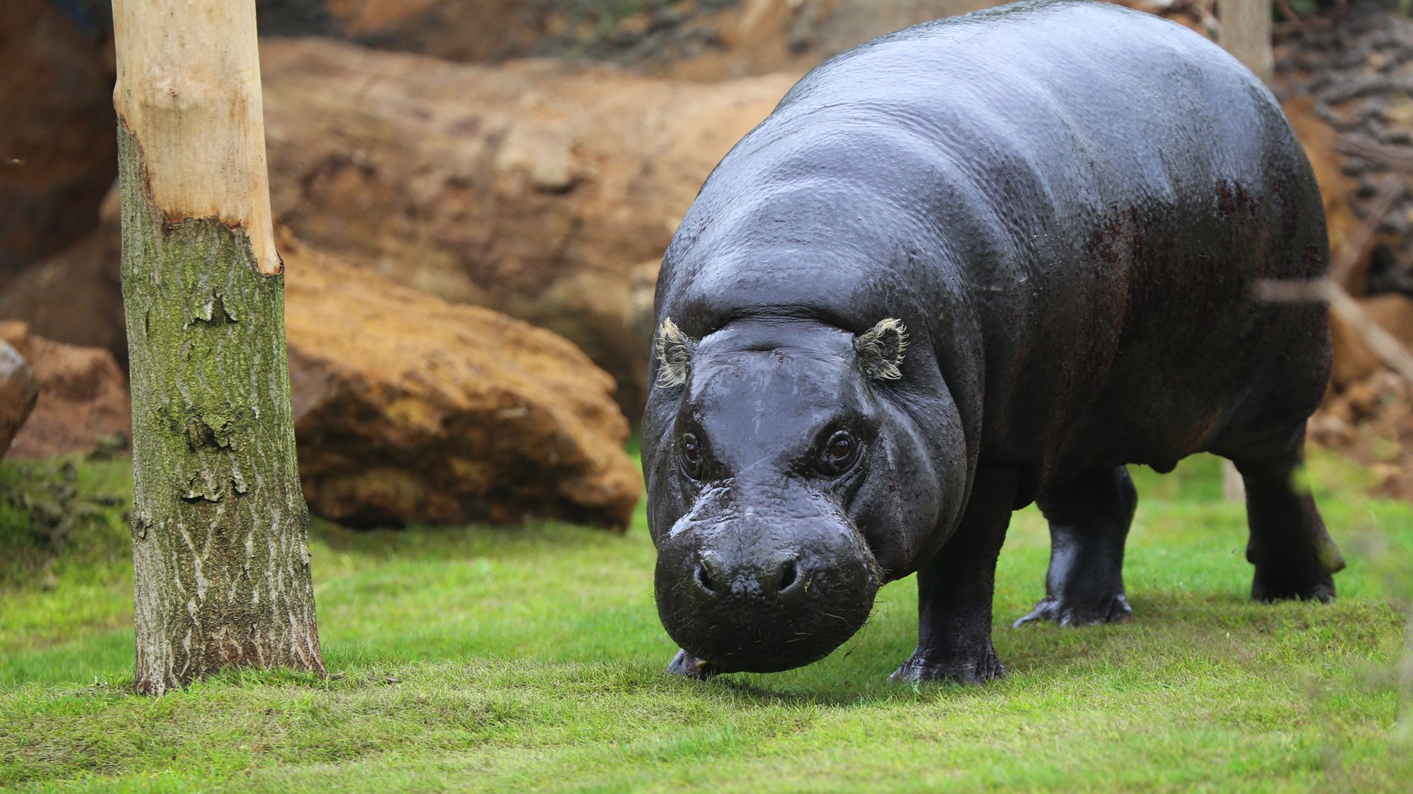 Pygmy hippopotamus HD pictures