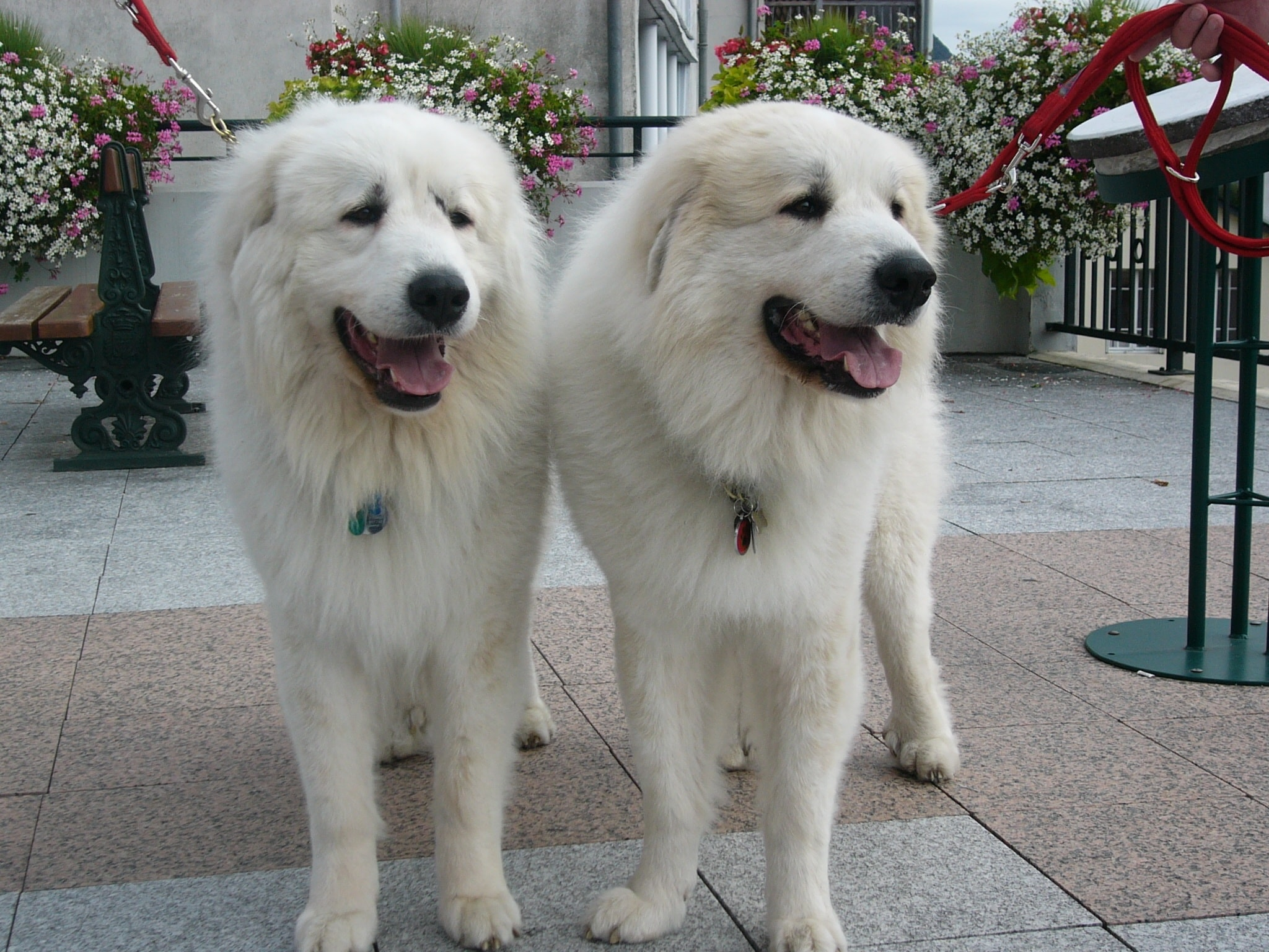 Pyrenean Mountain Dog Full hd wallpapers