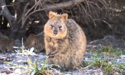Quokka HD pictures