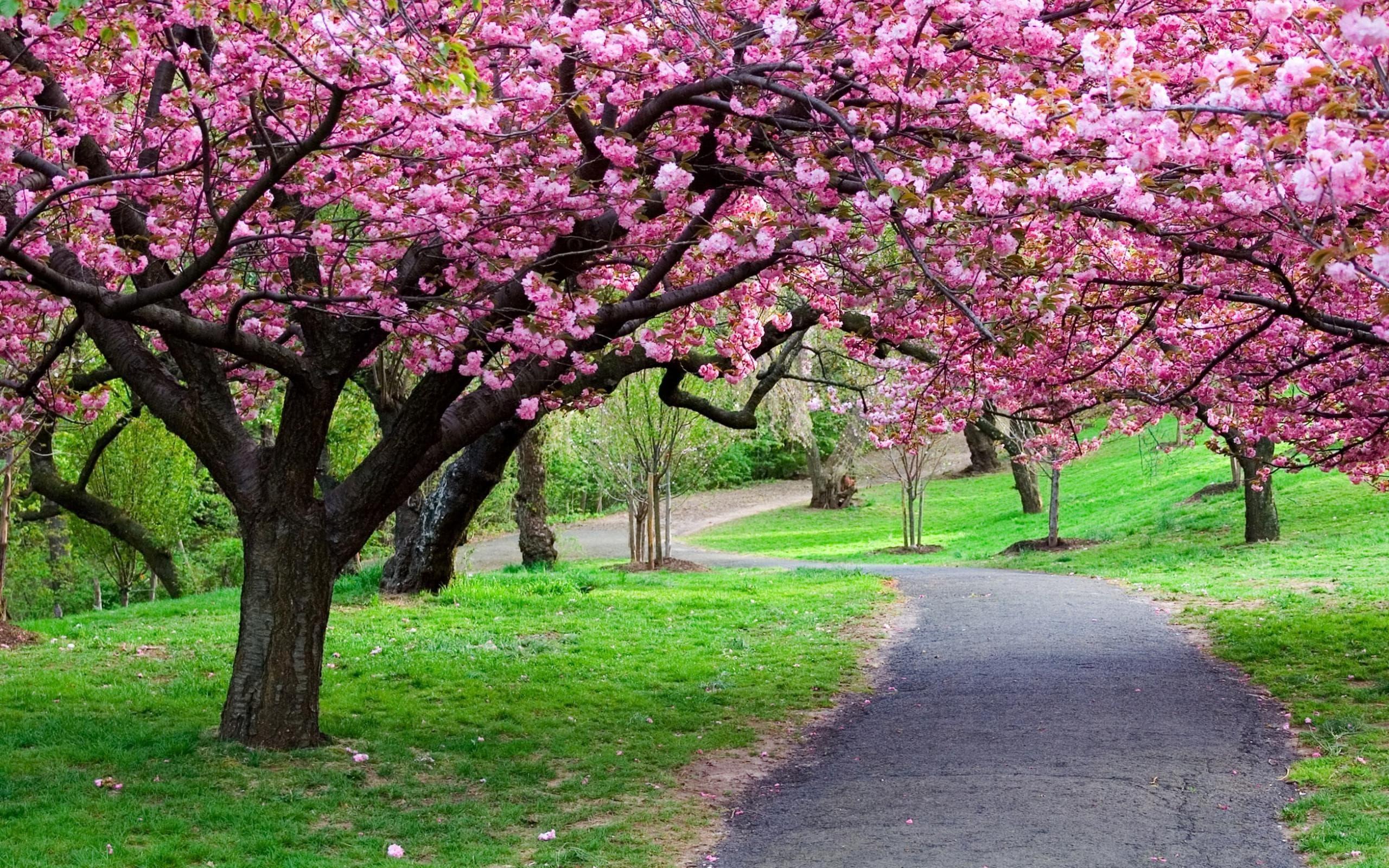 Sakura flower HD pictures