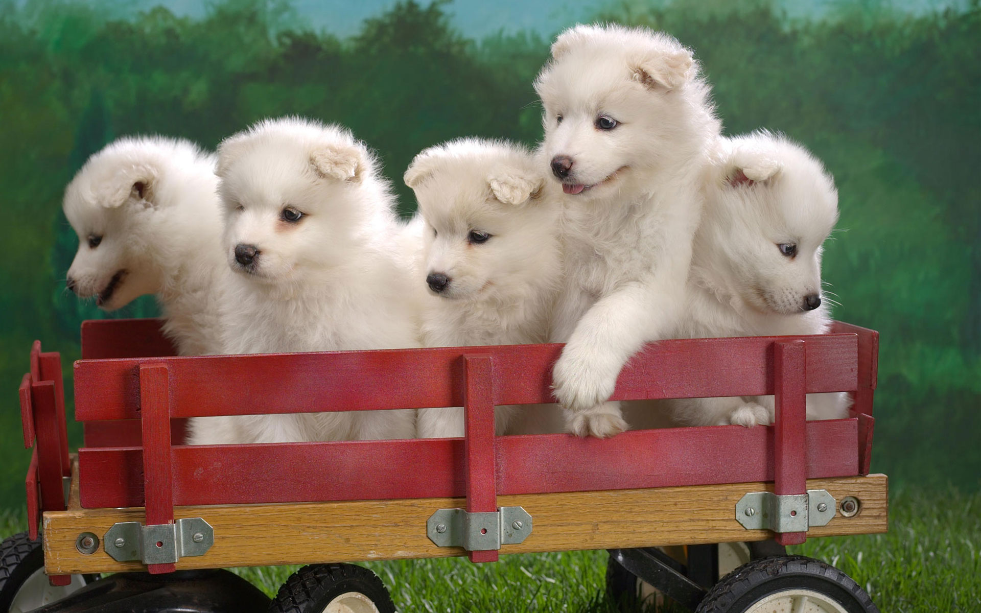 Samoyed Husky HD pictures