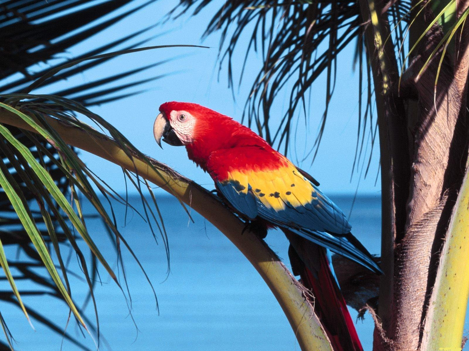 Scarlet macaw HD pictures