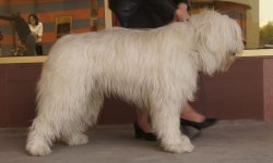 South Russian Sheepdog HD pictures
