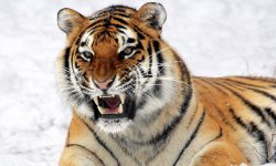 Tiger HD pictures