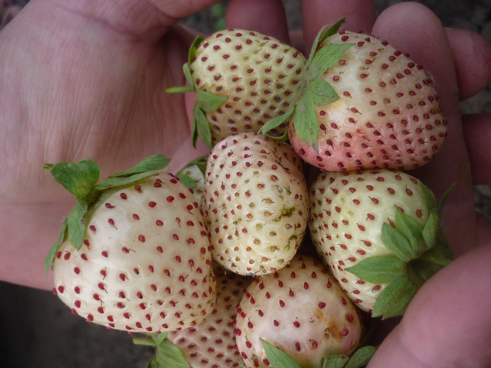 White strawberries Wallpaper