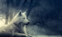 Wolf widescreen wallpapers