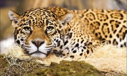 Jaguar full hd wallpapers