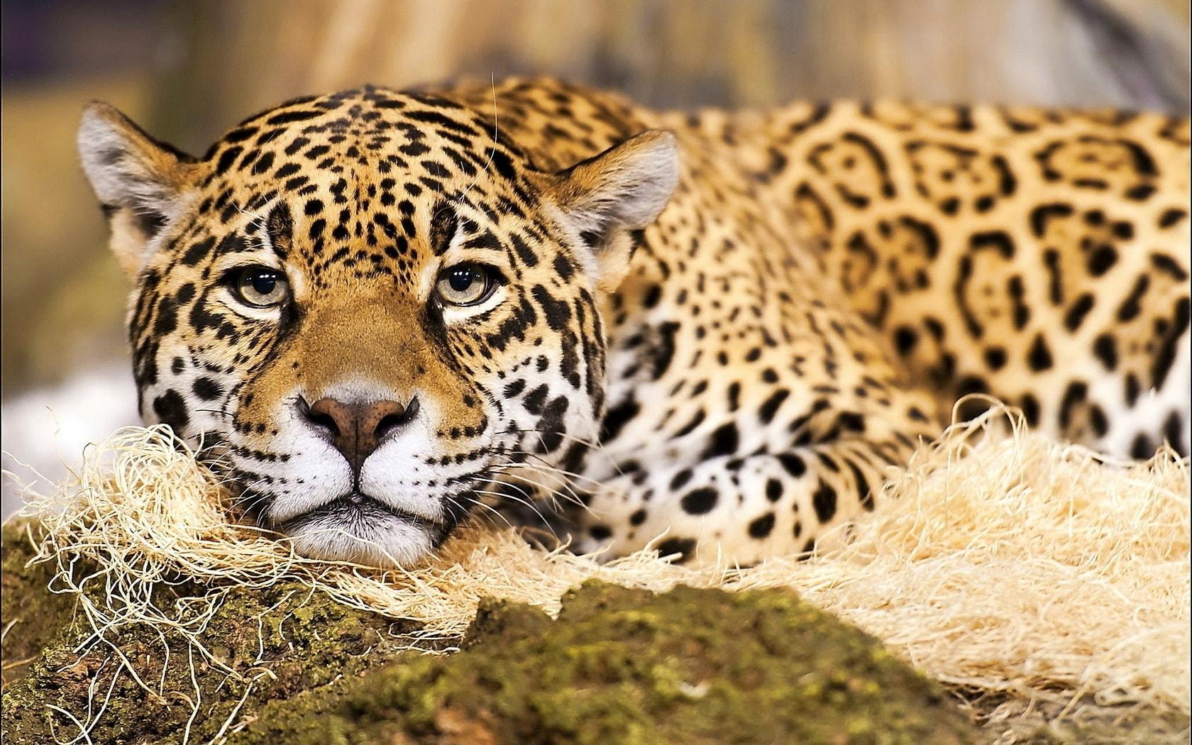 Jaguar full hd wallpapers