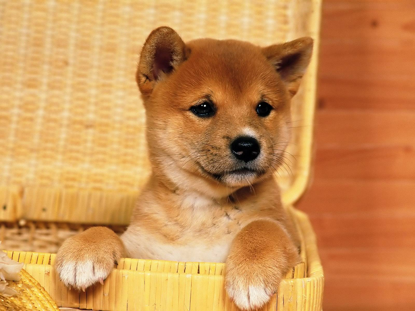 Akita Inu Full hd wallpapers