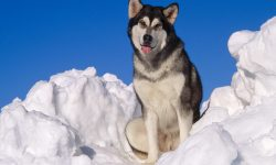 Alaskan Malamute Full hd wallpapers