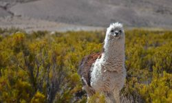 Alpaca Full hd wallpapers