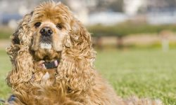 American Cocker Spaniel Full hd wallpapers