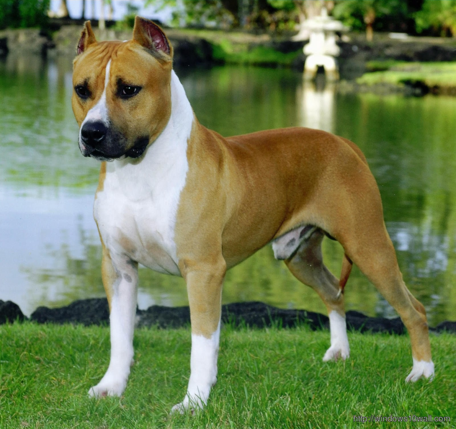 American Pit Bull Terrier HD pictures