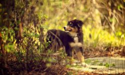 Australian Shepherd Full hd wallpapers