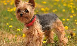Australian Silky Terrier Full hd wallpapers