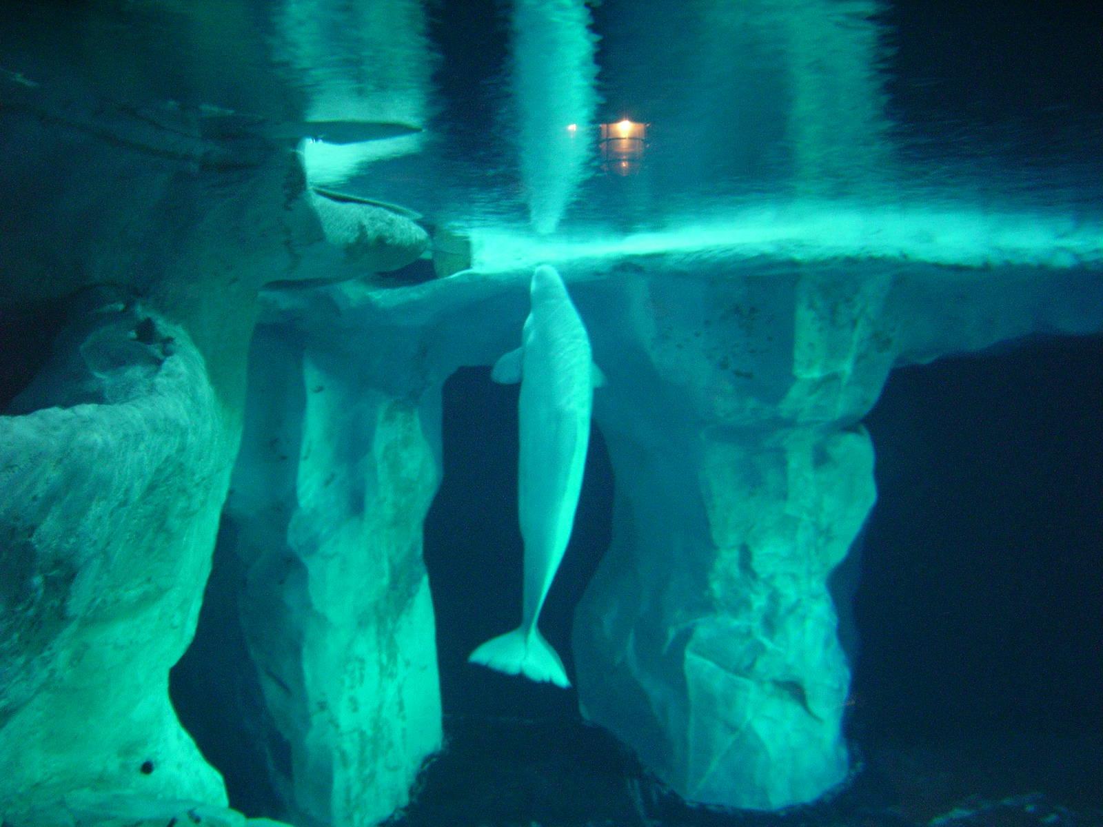 Beluga Whale Full hd wallpapers