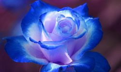 Blue Rose Full hd wallpapers
