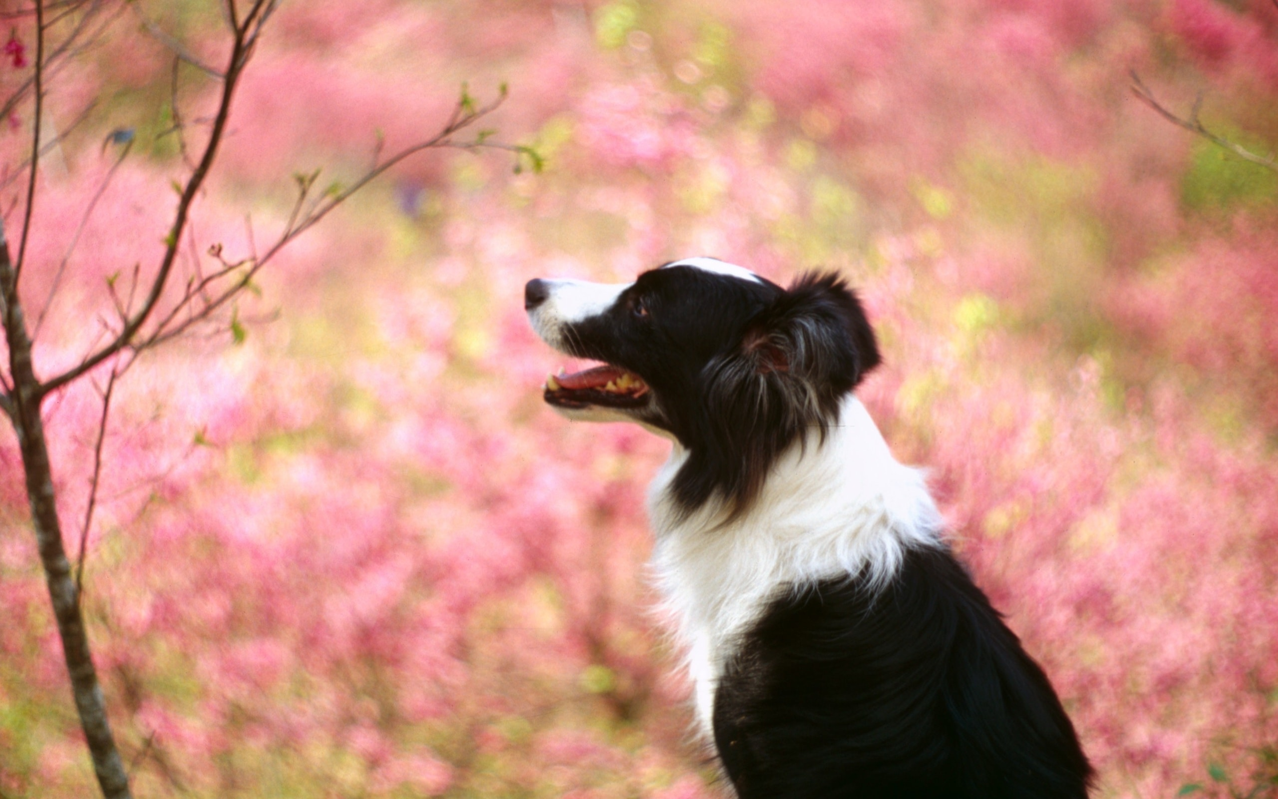 Border Collie HD pictures