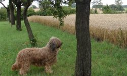 Briard Full hd wallpapers