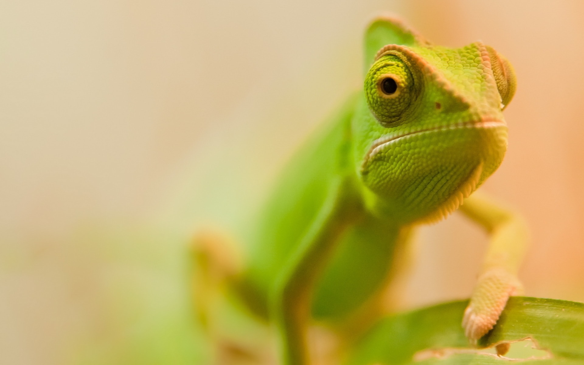 Chameleon Full hd wallpapers
