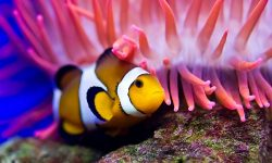Clownfish Full hd wallpapers