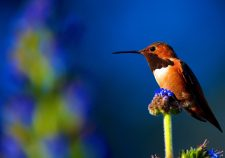 Colibri Full hd wallpapers