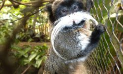 Emperor Tamarin Full hd wallpapers
