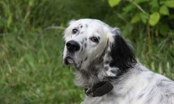 English setter HD pictures