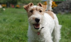 Fox Terrier Full hd wallpapers