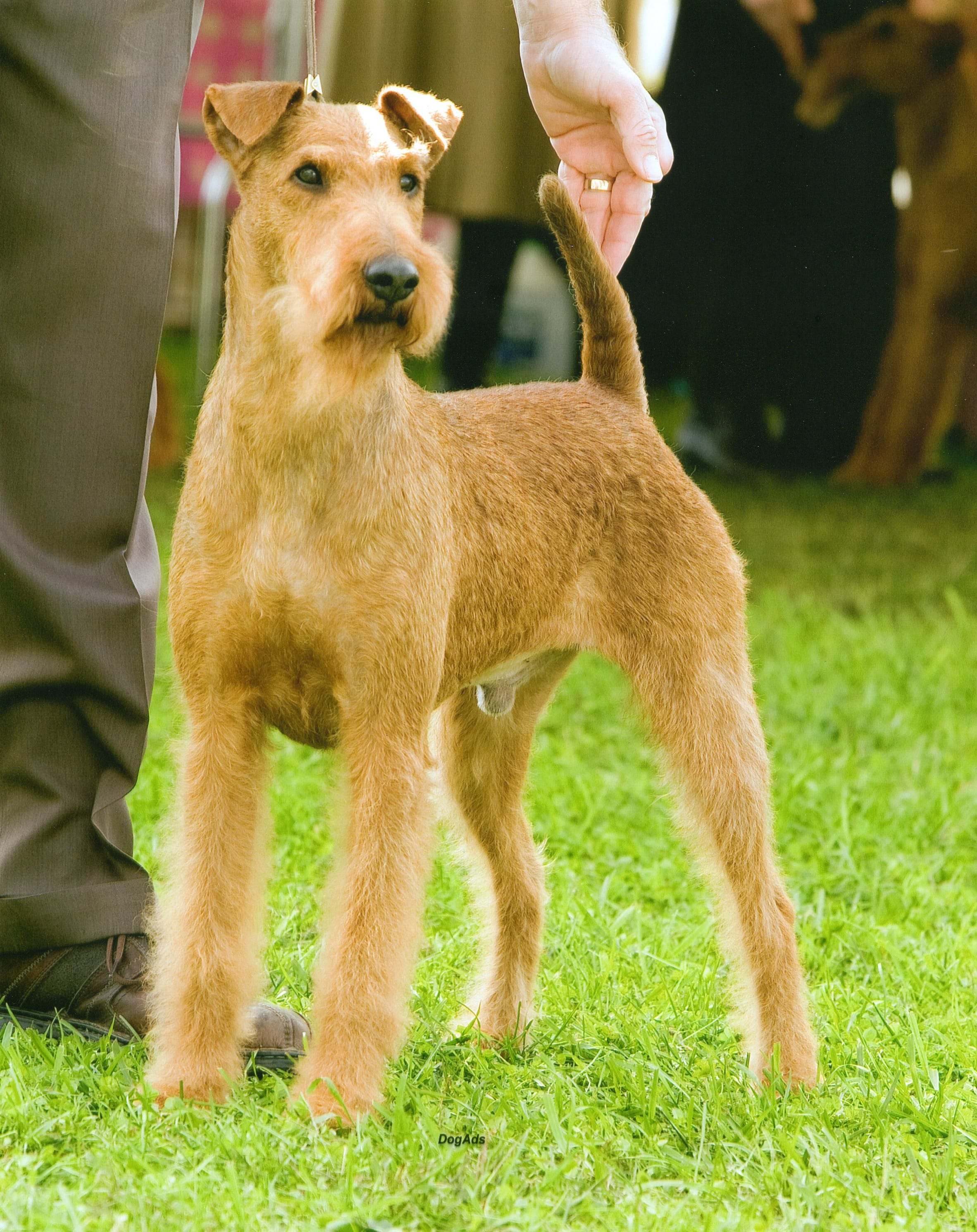 Irish Terrier For mobile