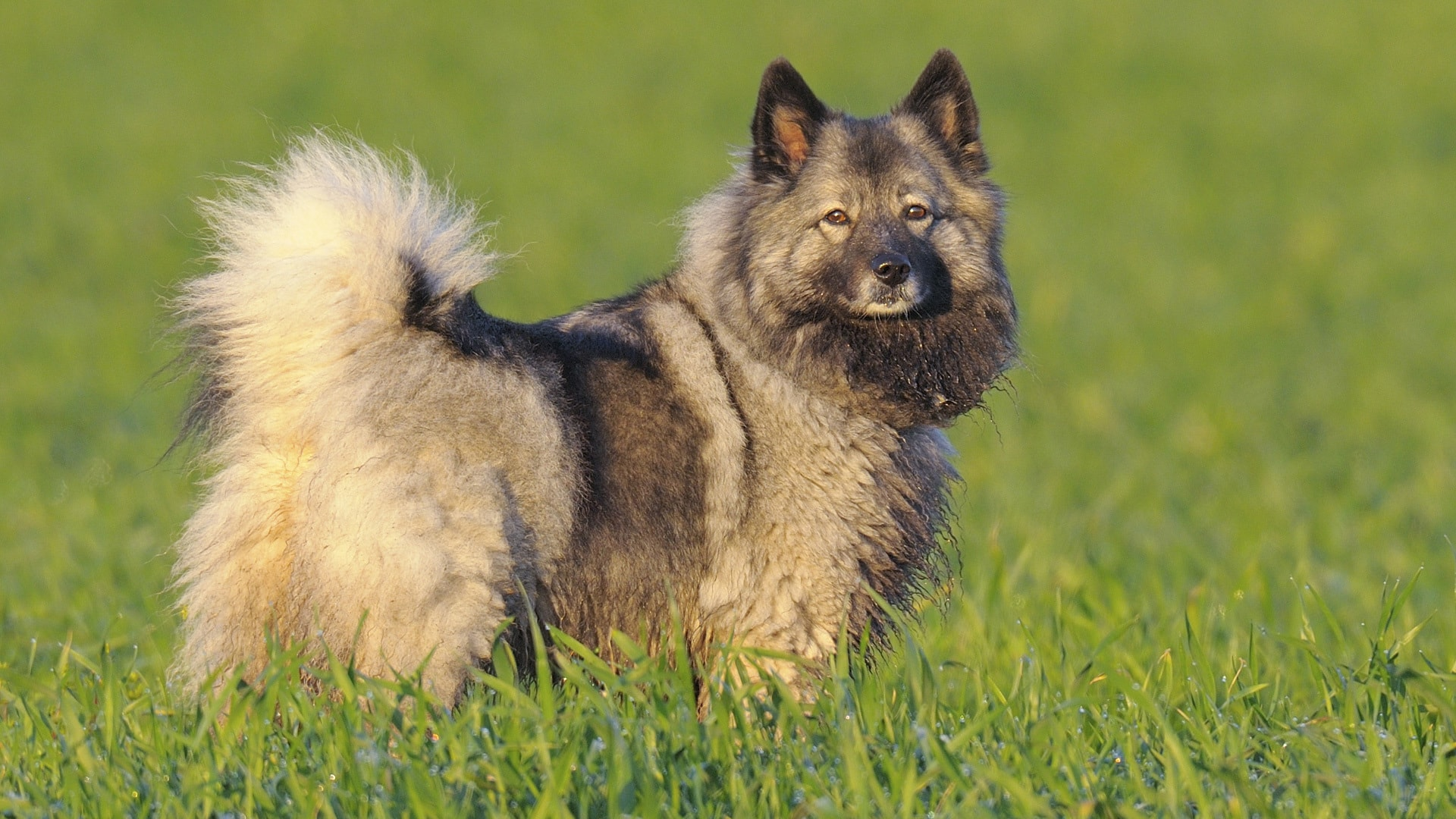 Keeshond HD pictures