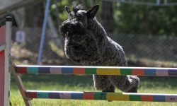 Kerry Blue Terrier Full hd wallpapers
