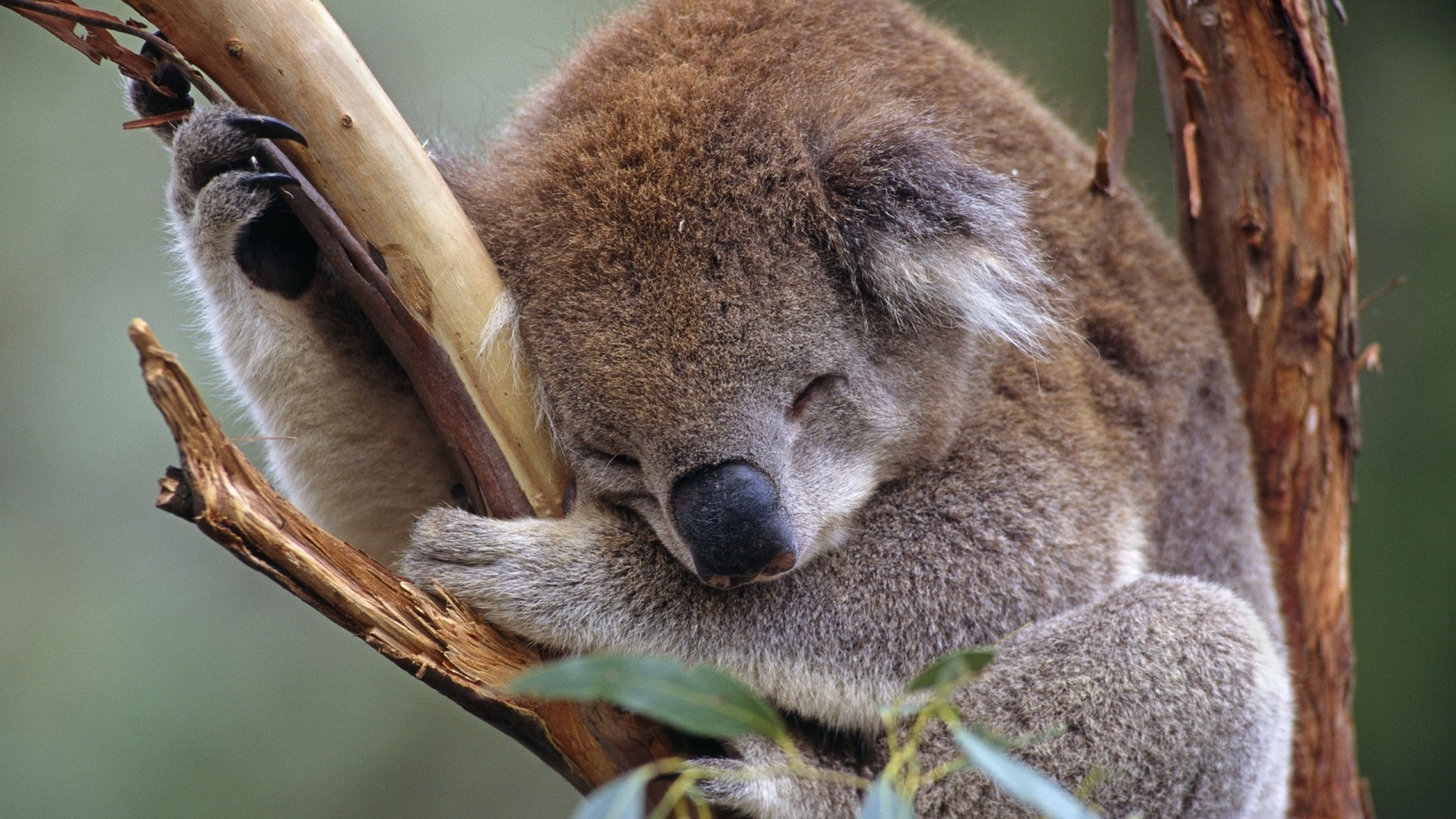 Koala Full hd wallpapers