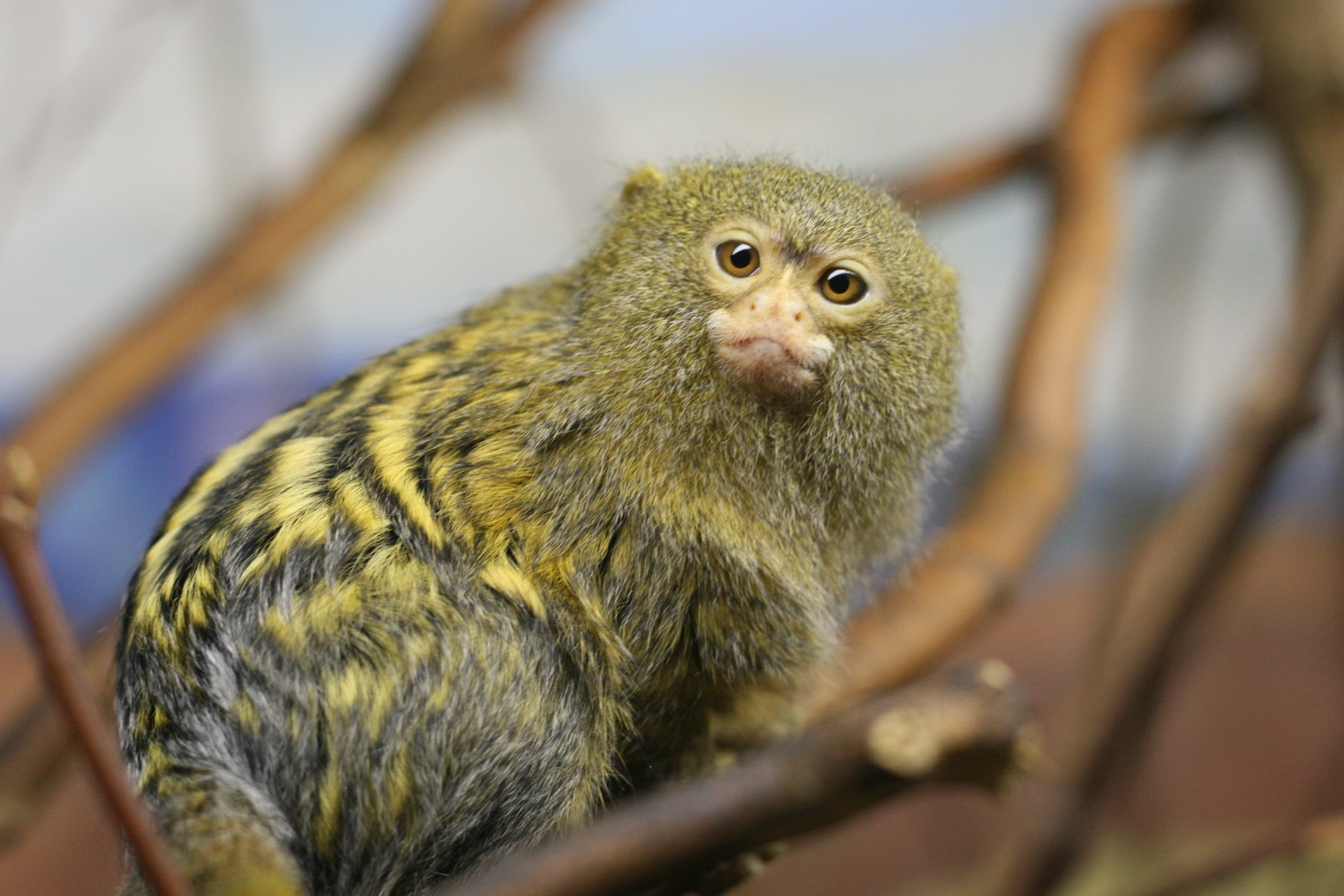 Marmoset monkey Full hd wallpapers