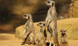 Meerkat Full hd wallpapers