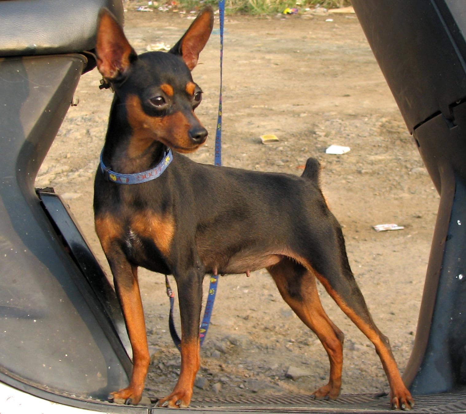 Miniature Pinscher HD pictures