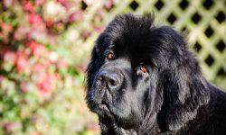 Newfoundland Dog Full hd wallpapers