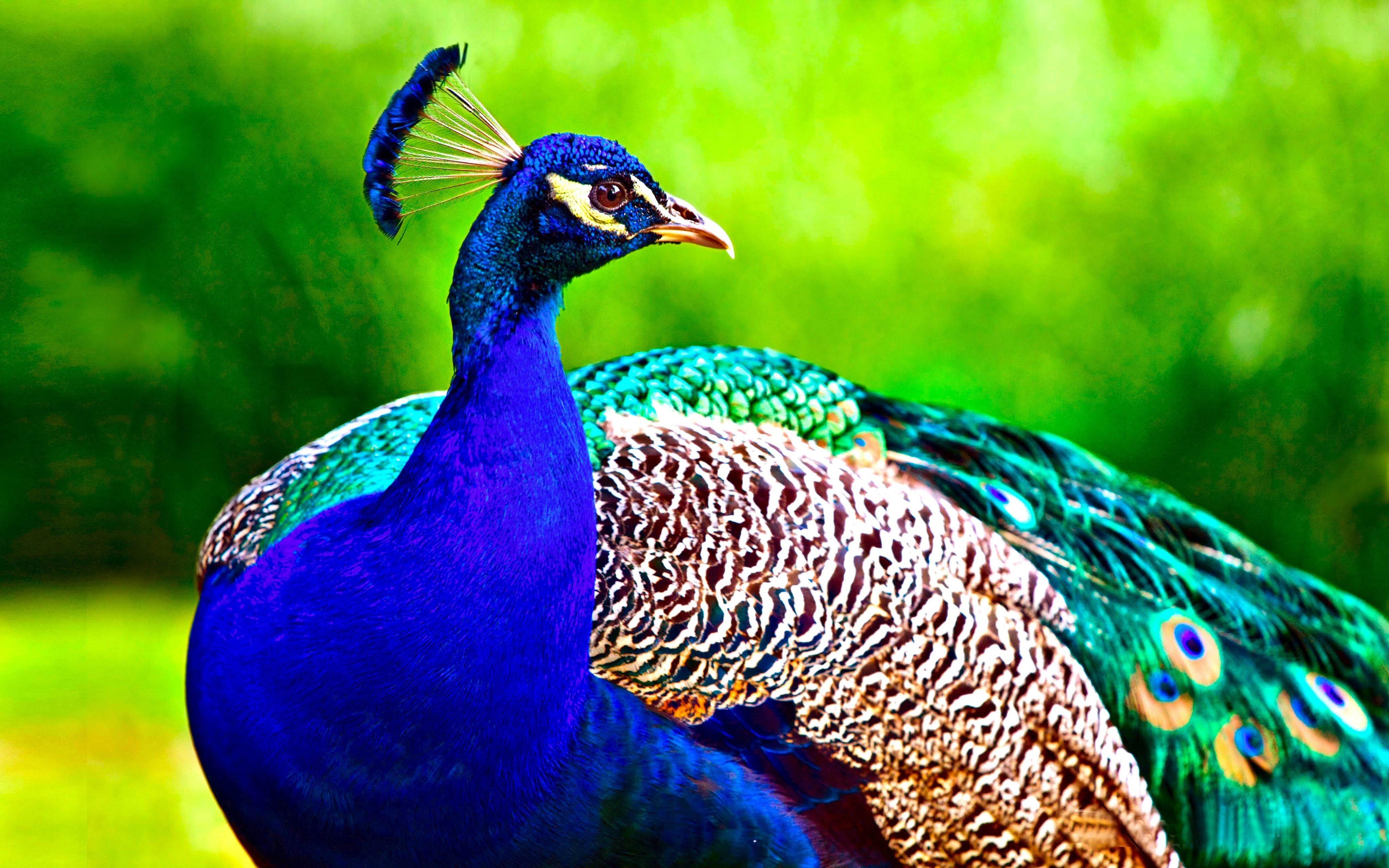 Peacock Full hd wallpapers