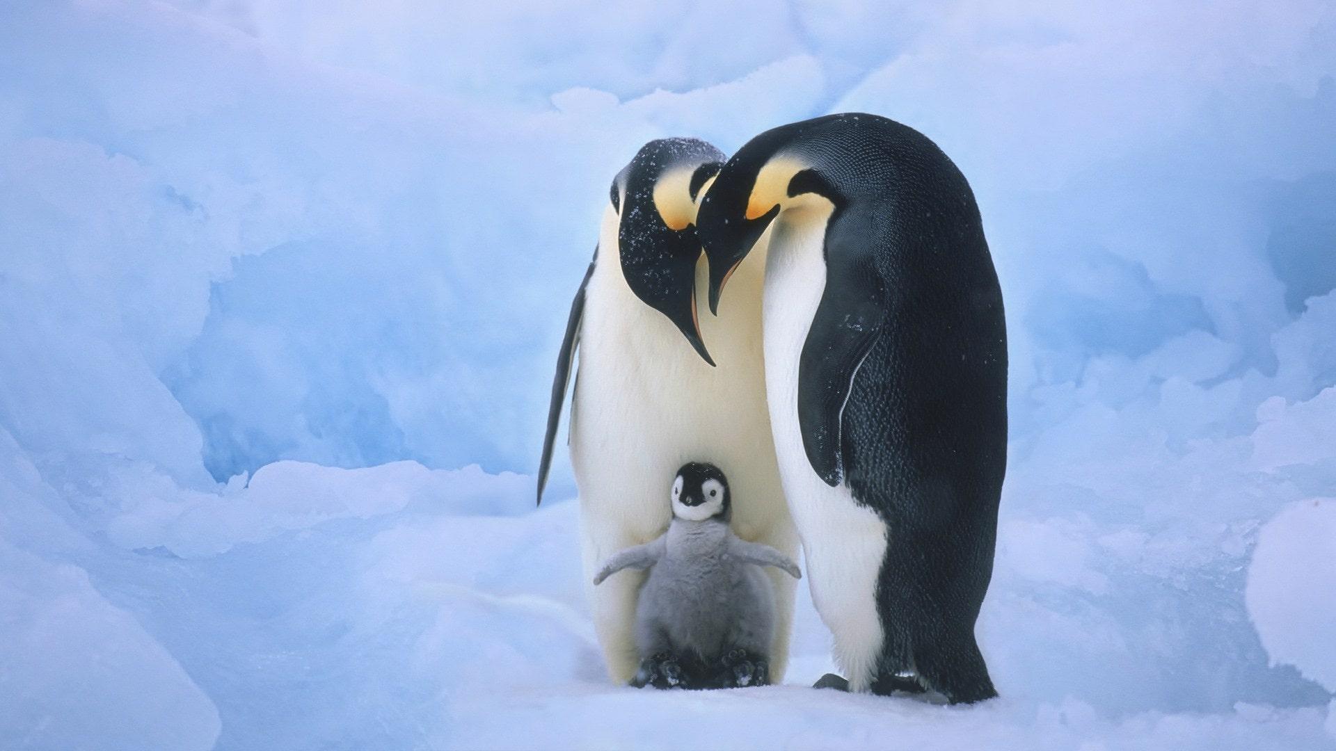 Penguin Full hd wallpapers