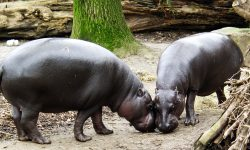 Pygmy hippopotamus Full hd wallpapers