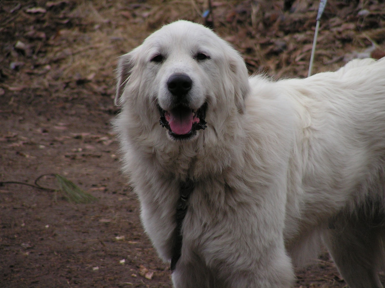 Pyrenean Mountain Dog HD pictures